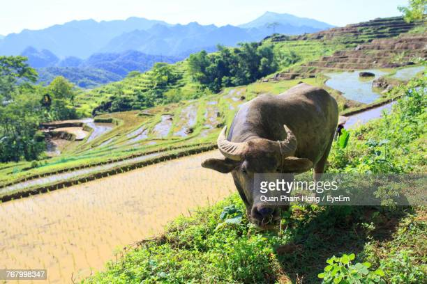 buffalo on field against mountains - hong quan stock pictures, royalty-free photos & images