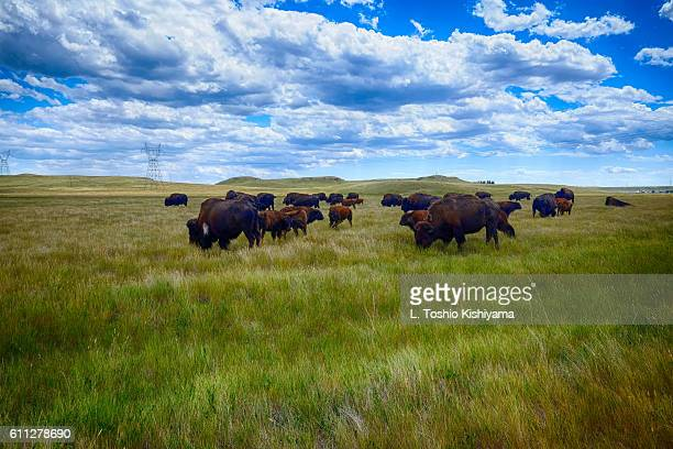 Buffalo on the Prairie in Wyoming