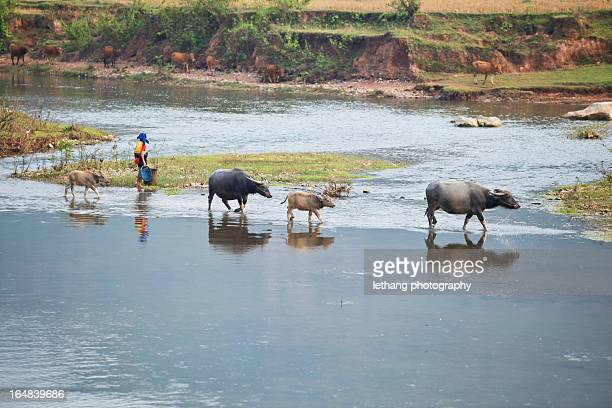 buffalo on the river - mai chau stock pictures, royalty-free photos & images