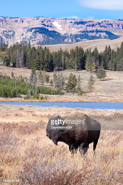 buffalo or bison and wilderness in yellowstone - yellowstone river stock photos and pictures