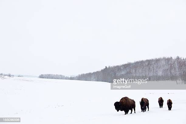 buffalo or bison on the plains in winter - great plains stock pictures, royalty-free photos & images
