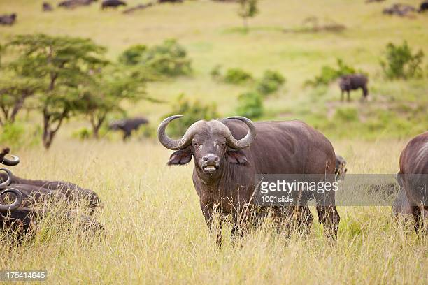 buffalo - wild cattle stock photos and pictures