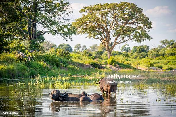 buffalo pool - kruger national park stock pictures, royalty-free photos & images