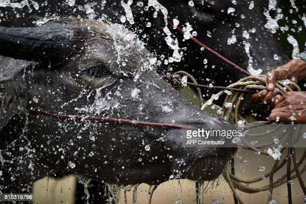 A buffalo received a bath in between racing in a rice paddy field during the annual rice planting festival in Chonburi on July 16 2017 Languidly...