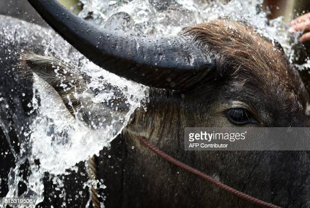 A buffalo receives a bath in between racing in a paddy field during the annual rice planting festival in Chonburi on July 16 2017 Languidly ploughing...