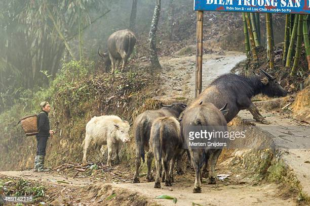 buffalo shepherd guiding animals upwards - merten snijders stock pictures, royalty-free photos & images