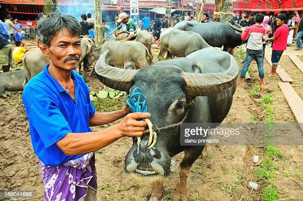 Buffalo shepherd taking a buffalo to the slavery field in Rambu Solok ritual, a funeral ritual of Toraja people. In the ritual, usually tens of...
