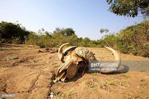 Buffalo skull, Lower Zambezi National Park