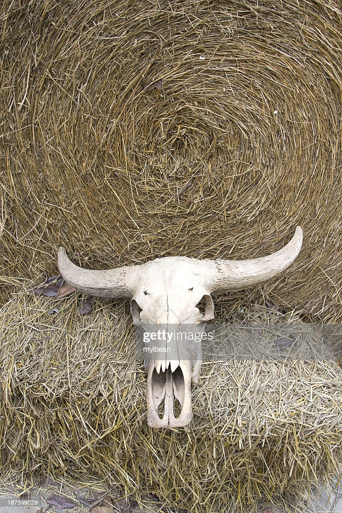 buffalo skull on rice straw : Stock Photo