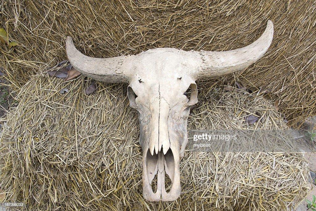 buffalo skull on rice straw : Stock Photo