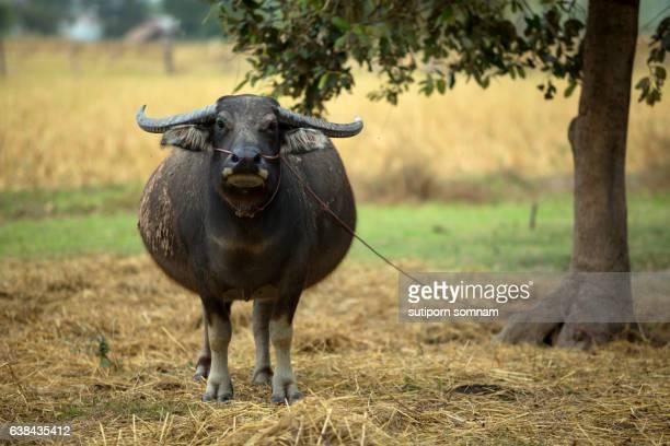 Buffalo species