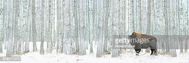 Buffalo standing in snow among poplar trees in elk island national park