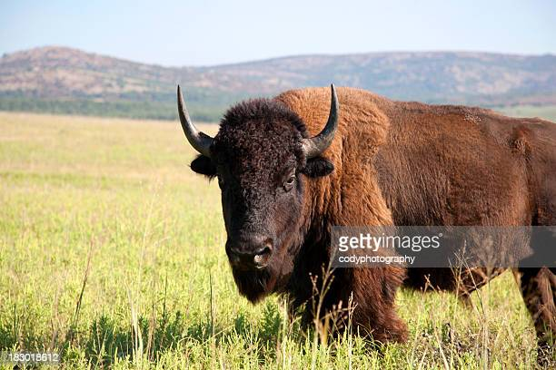 Buffalo the American Bison
