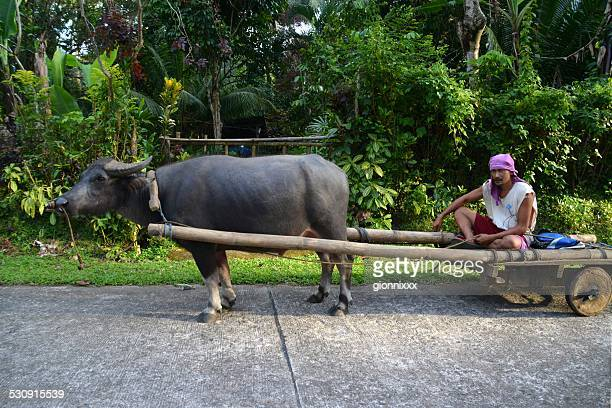 buffalo towing local man, camiguin philippines - filipino farmer stock photos and pictures