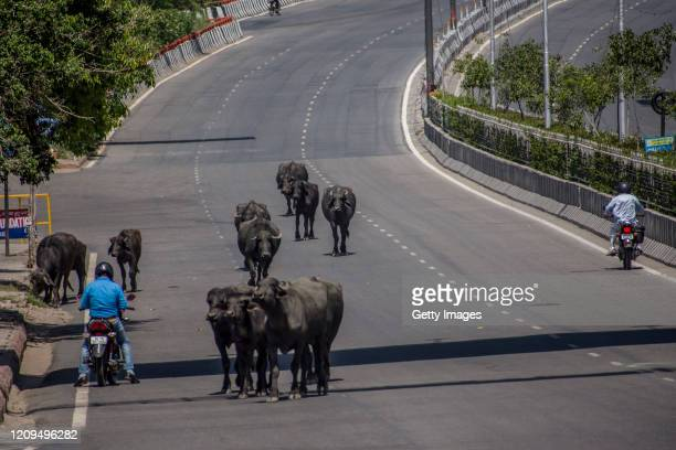 Buffalo walk on an empty highway, as India remains under an unprecedented lockdown over the highly contagious coronavirus on April 08, 2020 in New...