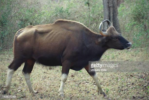 Buffalo walking in a forest, Bandipur National Park, Chamarajanagar, Karnataka, India