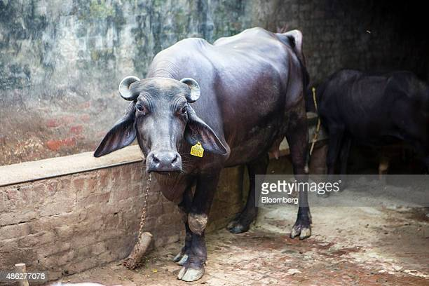 A buffalo which recently gave birth to a calf under the National Dairy Development Board's artificial insemination program stands in a stable in...