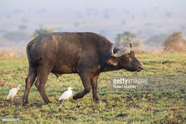 Buffalo with Cattle Egrett
