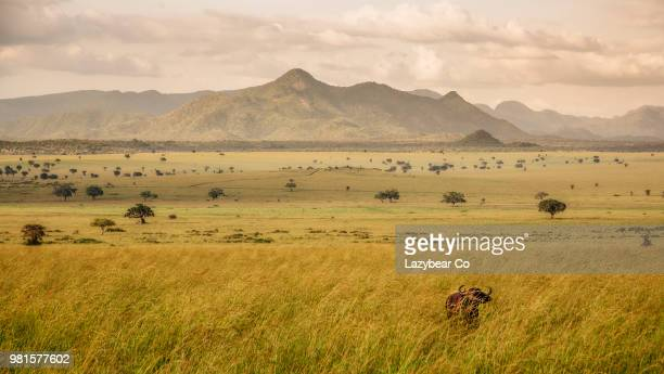 buffalo (syncerus caffer) with mountains in background, kidepo valley national park, karamoja, uganda - llanura fotografías e imágenes de stock