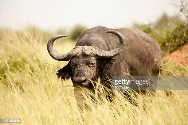 Buffaloe in Murchison Falls National Park-portrait
