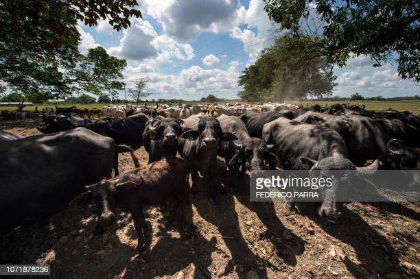 Buffaloes and cows remain at a ranch in San Silvestre, Barinas State, Venezuela, on November 28, 2018. - Robberies, squattings, expropriations and...