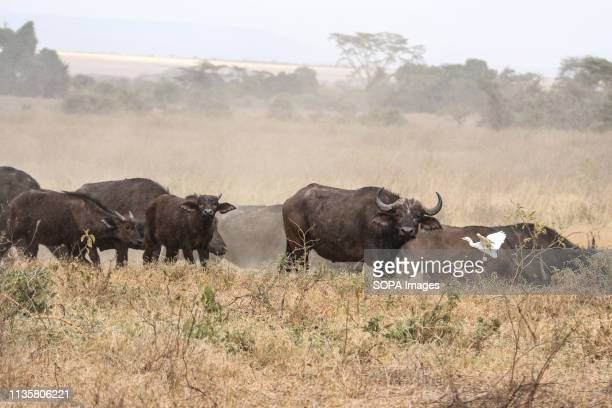 Buffaloes are seen grazing at Lake Nakuru National Park located about 150km Northwest of Nairobi capital More than ten buffaloes have been reported...