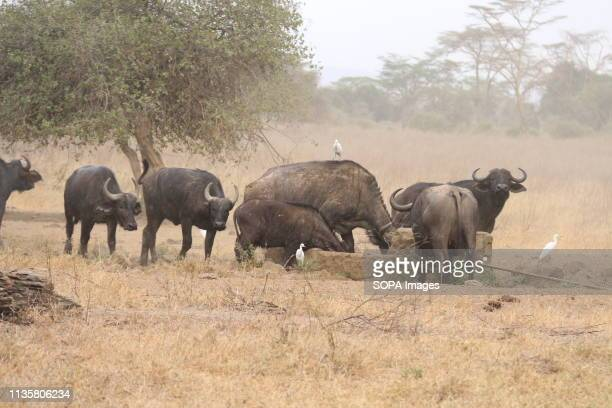 Buffaloes are seen looking for water at Lake Nakuru National Park located about 150 km Northwest of Nairobi capital More than ten buffaloes have been...