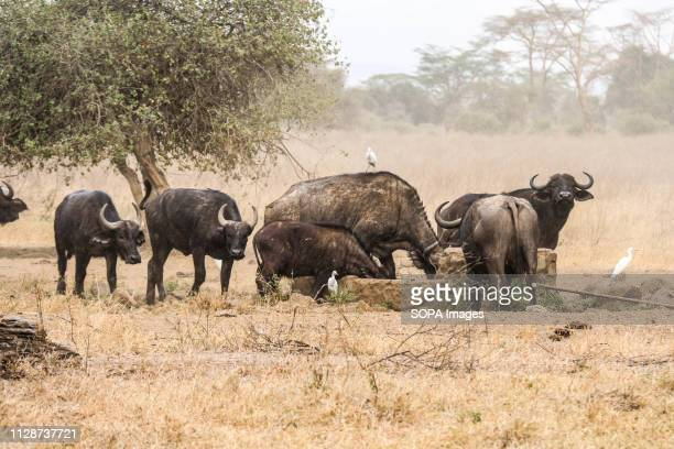 Buffaloes are seen looking for water in Lake Nakuru National Park during this year's World Wildlife Day celebrations