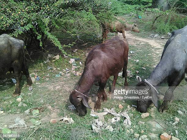 buffaloes grazing on grassy field - rekha stock pictures, royalty-free photos & images
