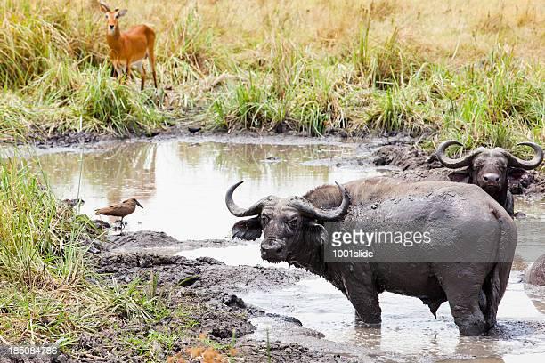 Buffaloes im Queen Elizabeth National Park-Moorbad