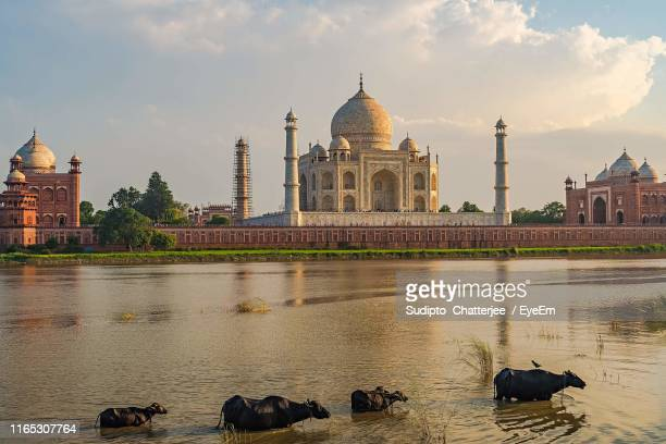 buffaloes in river against taj mahal during sunset - uttar pradesh stock pictures, royalty-free photos & images