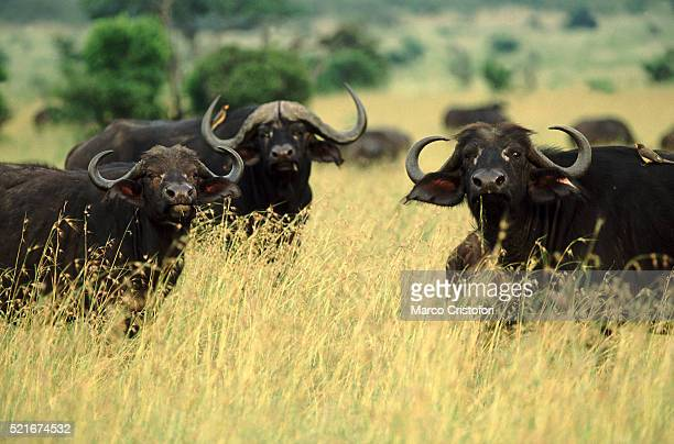 buffaloes - masai mara, kenya - marco cristofori fotografías e imágenes de stock