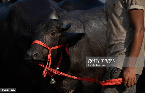 Buffaloes on sale for sacrifice on Bakra Eid at Zafapur area of East Delhi on September 12 2016 in New Delhi India Muslims across the world are...