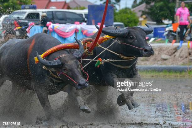 Buffaloes Racing In Competition