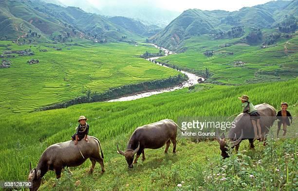 Buffaloes & rice fields in Sapa region, North Vietnam