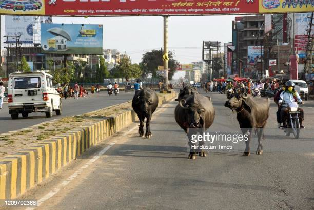 Buffaloes seen on Bailey road during day fifteen of the 21 day nationwide lockdown to curb the spread of coronavirus, on April 8, 2020 in Patna,...