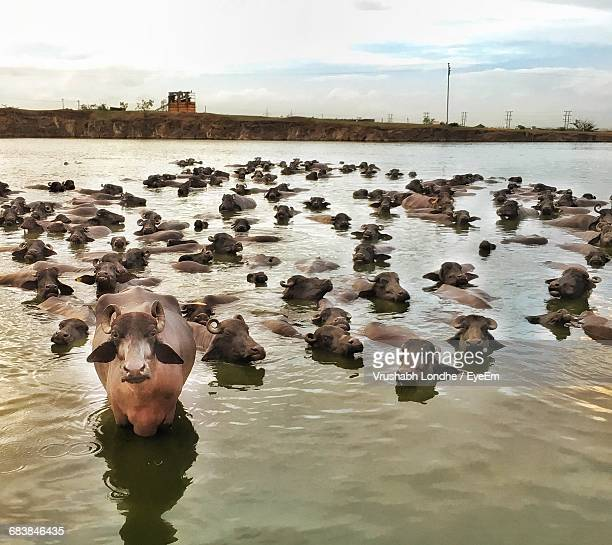 Buffaloes Swimming In Lake Against Cloudy Sky