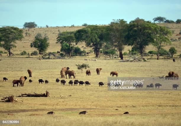 Buffalos and elephants graze on a plain at the Tsavo West National Park near Voi around 350 kilometres southeast of Nairobi on February 16 2017 The...