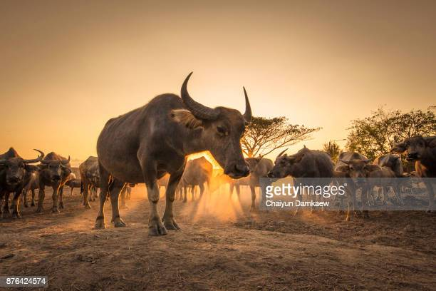 Buffalos Chill Out During Sunset