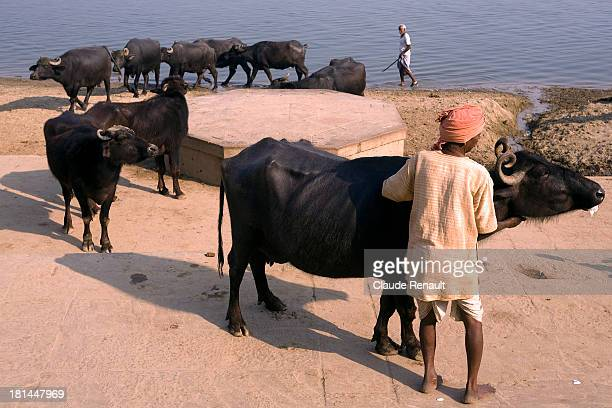 CONTENT] Buffalos coming out of the sacred Ganges after the evening bath alongside the ghats in Varanasi