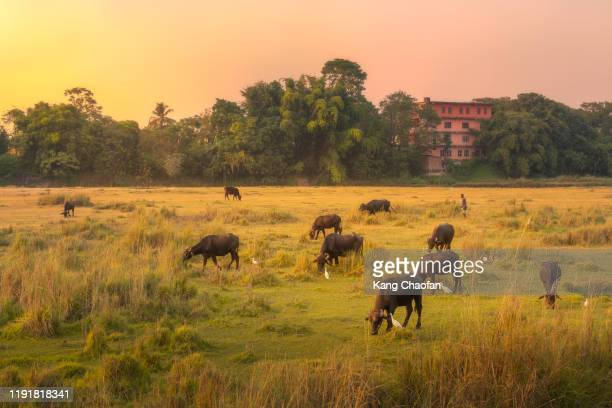 buffalos in chitwan national park during sunset, chitwan, nepal - chitwan stock pictures, royalty-free photos & images