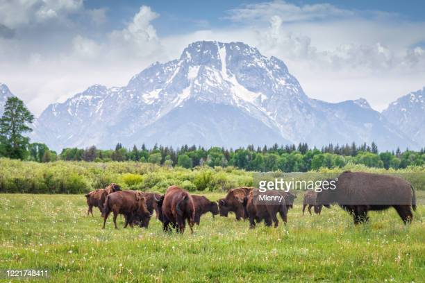 buffalos in grand teton national park wyoming usa - rocky mountains north america stock pictures, royalty-free photos & images