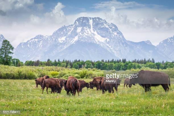 bufali nel grand teton national park wyoming usa - america del nord foto e immagini stock