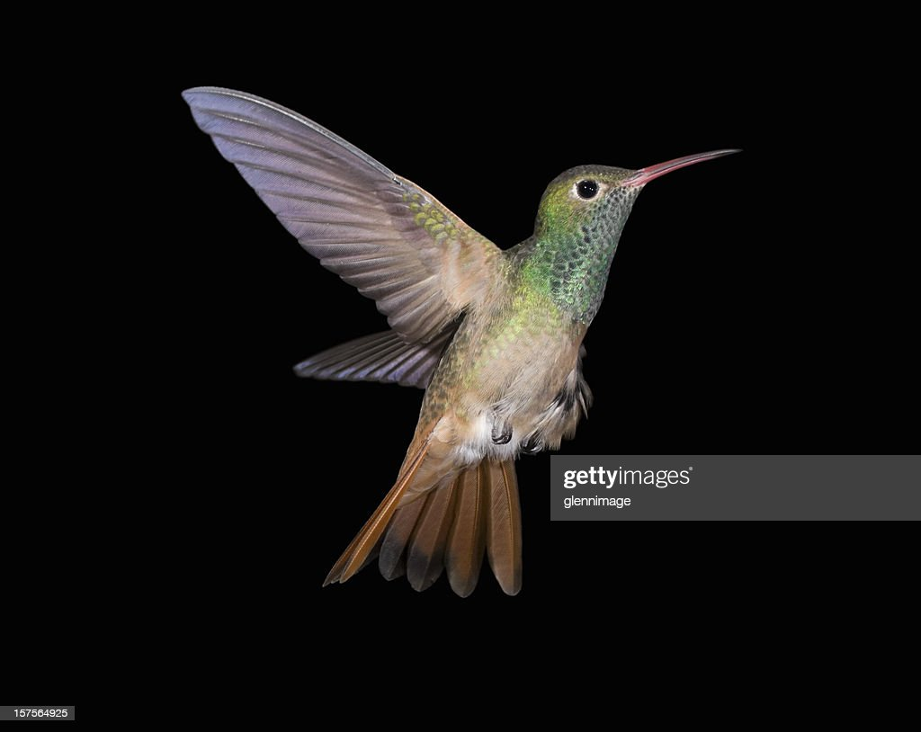 Buff-Kolibri Saucerrotia-up : Stock-Foto