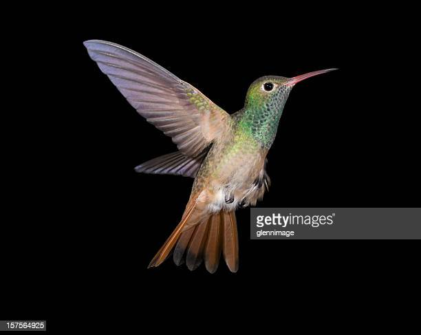 Buff-bellied Hummingbird flying up