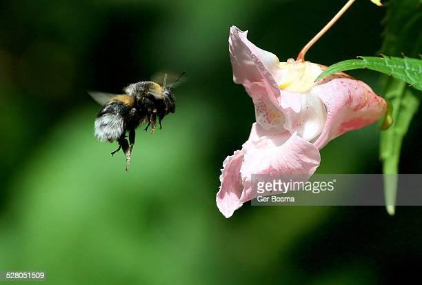 Buff-tailed Bumblebee in Flight
