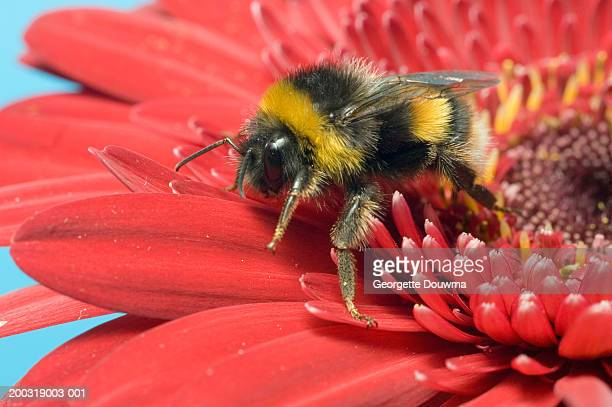 buff-tailed bumblebee (bombus terretris) on flower, close-up - bumblebee stock pictures, royalty-free photos & images