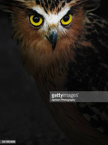 Buffy Fish Owl with beautiful yellowish eyes