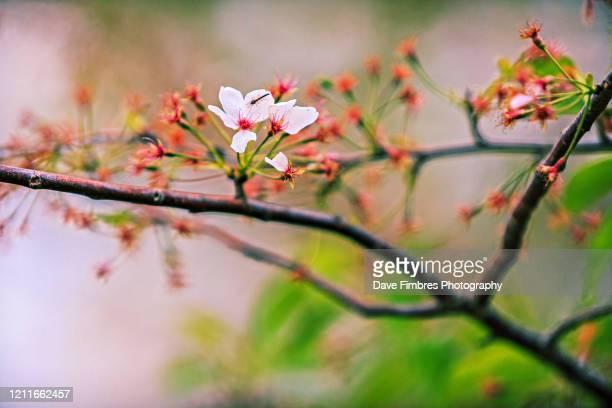 bug and cherry blossom - equinoccio de primavera fotografías e imágenes de stock