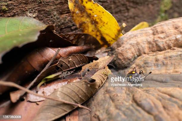 bug, borneo tropical rainforest, malaysia - argenberg stock pictures, royalty-free photos & images